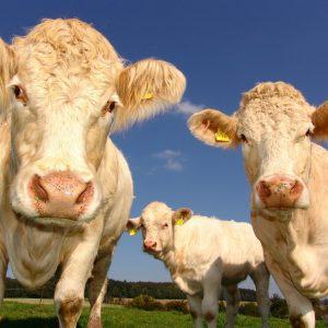 tip 2- wandelen tussen de koeien